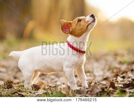 jack russel dog outdoor