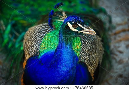 A peacock looking away from the camera
