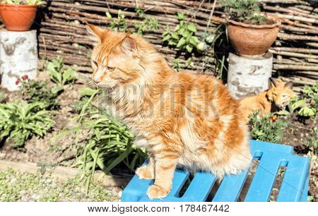 Adult ginger maine coon sitting at summer sunny day