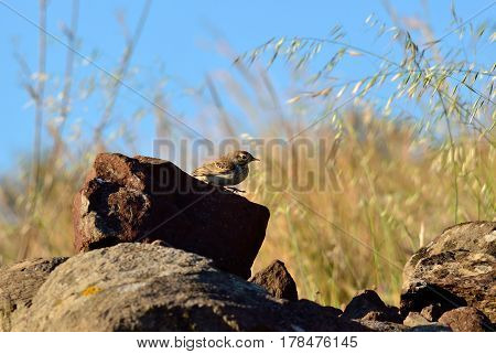 Small bird on the stones of the prairie, anthus campestris