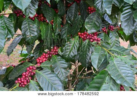 Coffee bean coffee cherries or coffee berries on Arabica coffee tree