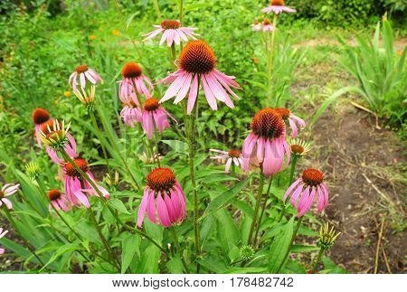 Beautiful Echinacea purpurea and purple coneflowers flower bed in the garden. Herbal medicine.