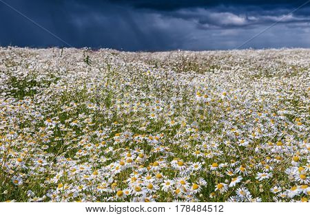 field of daisies against a stormy rainy sky in summer day