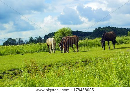Herd of horses of different colors on-range grazing and walking under stormy cloudy blue sky.Group of three domestic animals white (creamy spotted color),brown and dark brown colors standing in meadow
