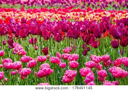 Flower bed of colourful tulips in spring. Keukenhof park Netherlands. Colorful tulips in the Keukenhof park Netherlands. Fresh blooming tulips in the spring garden. Blooming flowers in Keukenhof.
