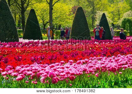 Lisse Netherlands - May 7 2016: Colorful tulips in the Keukenhof park Netherlands. Flower bed of colourful tulips in spring. Keukenhof park Netherlands. Fresh blooming tulips in the spring garden.