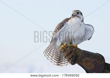 a falcon sits on a gloved hand