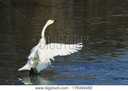 white Swan feathers dry on the shore of the lake gracefully spread its wings