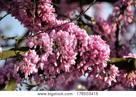 Pink flowers of Judas tree, that blooming before appearance of leaves
