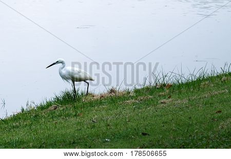 The little egret walking on the grass floor finding the food for eating.