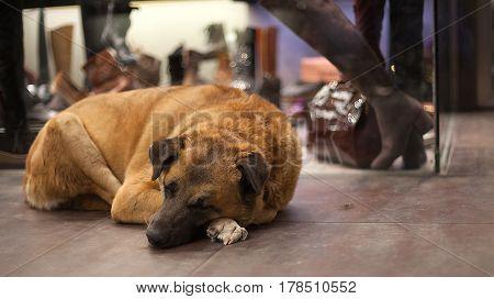 Homeless dog sleeping near the shop window. Stray dog.