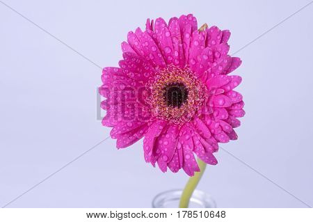 Close up image of a pink daisy covered in water droplets, taken on a white background with copy space. Macro image