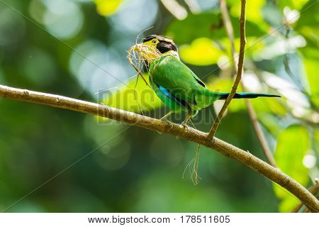 Long-tailed broadbill with dried grass in its mouth to make nest.