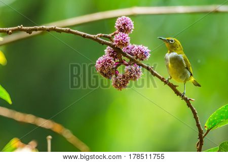 Oriental white-eye holing on branch in national park
