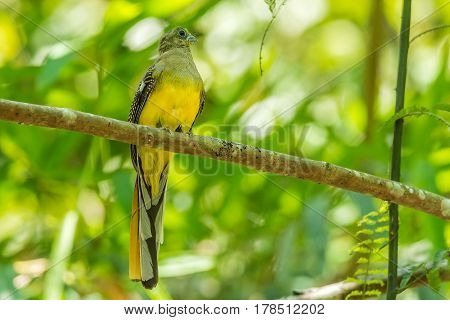 Orange-breasted trogon holding branch in national park.