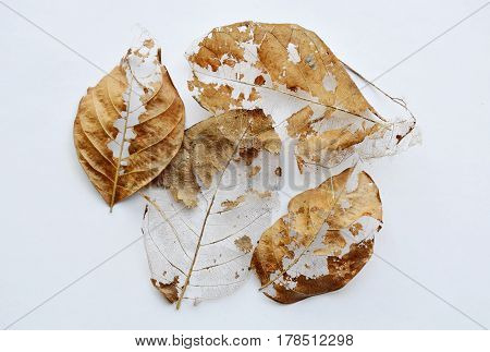 dry brown leaf decompose structure on white background