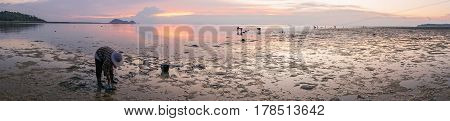 Thai Women on the beach at low tide to collect seashells and seaweed i seashells on the beach at low tide at sunset.