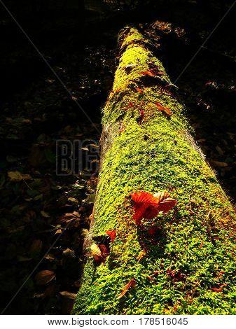 Brown Mushrooms Growing In Moss On Fallen Tree