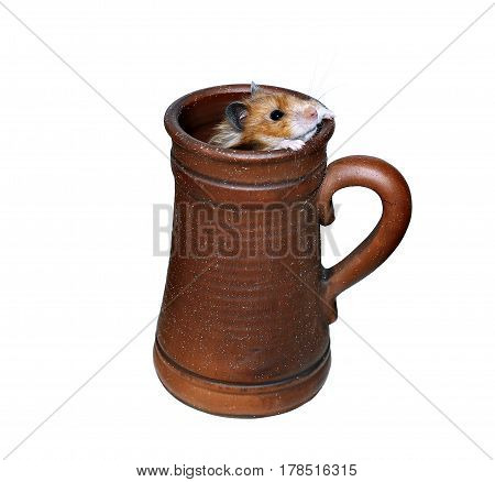 Brown Syrian hamster crawls into a large earthenware beer mug isolated on white background