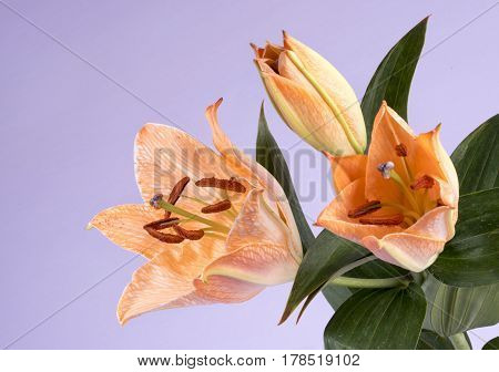 Macro image of a orange Tiger Lily. Taken with copy space on a lilac background
