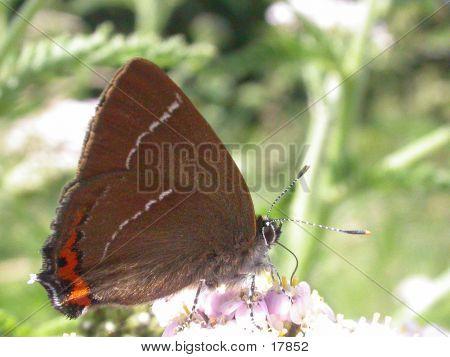 White-letter Hairstreak Butterfly 02