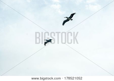 Two pelicans fly in formation under  a bright blue sky