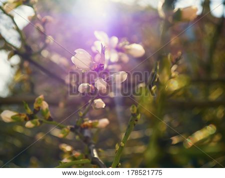 The beautifully blooming cherry tree branch with flowers