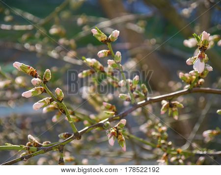 The lovely blooming flowers of fruit tree