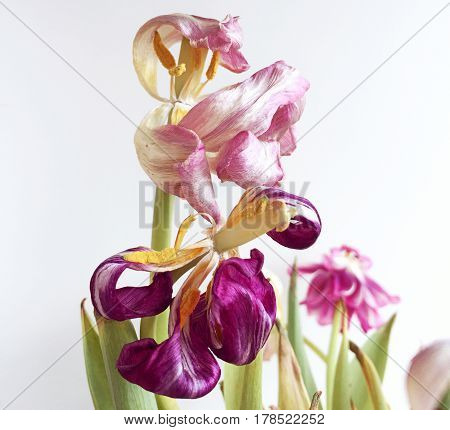 Pink and purpur faded tulips on light background
