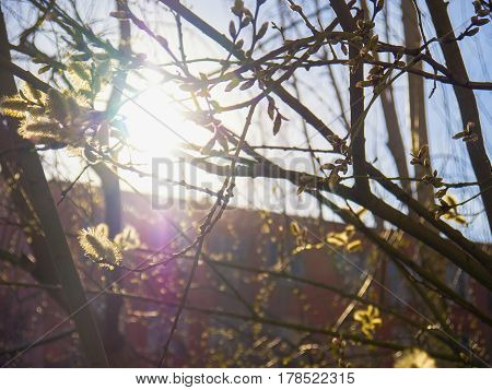 The solar glare through a flowering tree