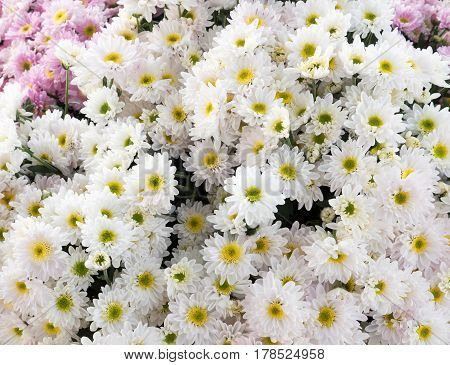 White chrysanthemum bunch after the harvest time for ready to sale.