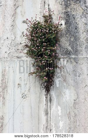 Plant with small flowers growing in rock crevice. Nature backround