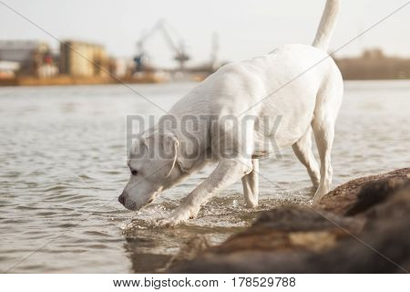 white labrador retriever dog drinking some water out of a river