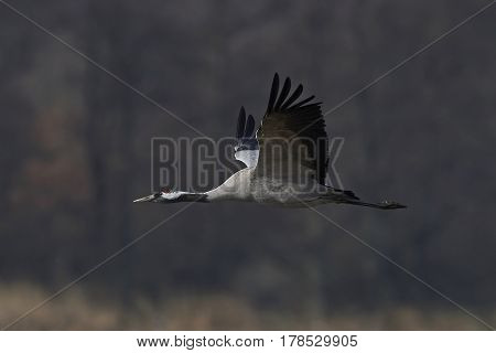 Common crane in flight with vegetation in the background