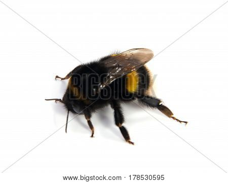 Crawling bumblebee isolated on the white background