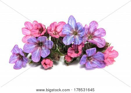First spring flowers isolated on white background.