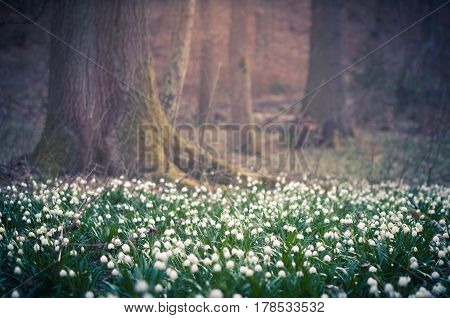 Beautiful spring flower with dreamy fantasy blurred bokeh background. Fresh outdoor nature landscape wallpaper. Leucojum vernom flower in full bloom.