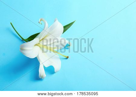 Beautiful white lily on color background
