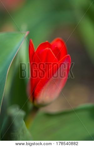 Red Tulips In A Spring Garden - Selective Focus, Copy Space