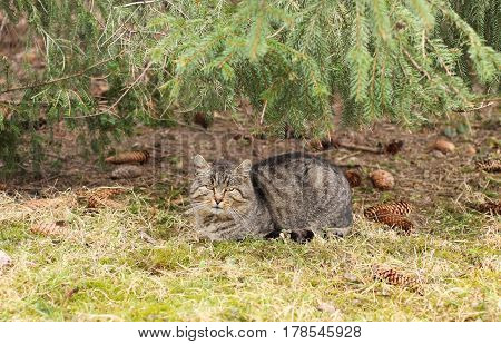 gray cat lying under the branches of spruce tree and some cones around it