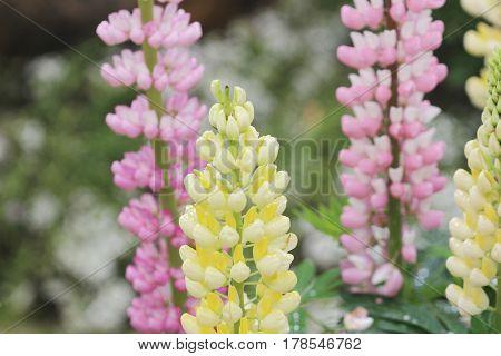 The Larkspur Flowers, Delphinium Elatum