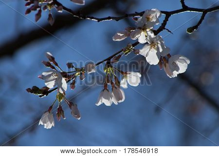 Aa cherry tree branch in bloom against a blue sky.