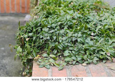 lesser periwinkle (Vinca minor) with nice green leaves
