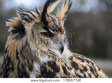 Portrait image of an eagle owl outdoors