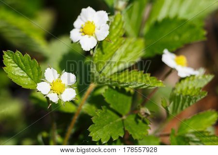 Blooming flower, floral background, gardening. Strawberry plant bush growing in green spring garden, close-up, shallow depth of field