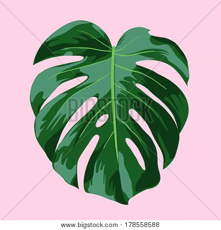 Monstera Tropical Leaf Illustration - Realistic vector illustration of a Monstera Deliciosa leaf on a pink background. Vector file is fully layered and well organized.