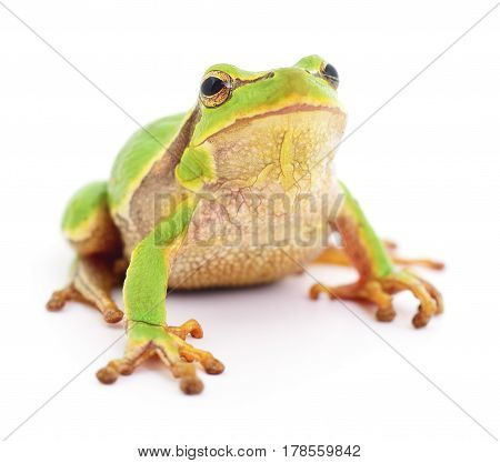 Small tree frog isolated on white background.