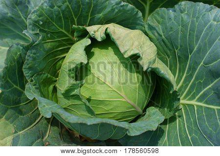 Head Of Fresh Cabbage In The Garden.