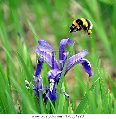 Bumblebee and blue flowers bloomed in nature