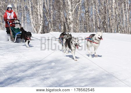 PETROPAVLOVSK-KAMCHATSKY KAMCHATKA PENINSULA RUSSIA - FEBRUARY 23 2017: Kamchatka Kids Competitions Sled Dog Race Dyulin (Beringia). Runs dog sled young Kamchatka musher Bobryakov Yuri.